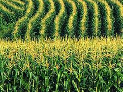 Rows of corn and copper sulfate toxicity