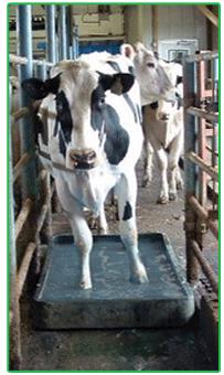 Dairy Cow Walking through Hoof Zink foot bath to prevent heel warts or digital dermatitis
