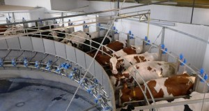 large milking parlor