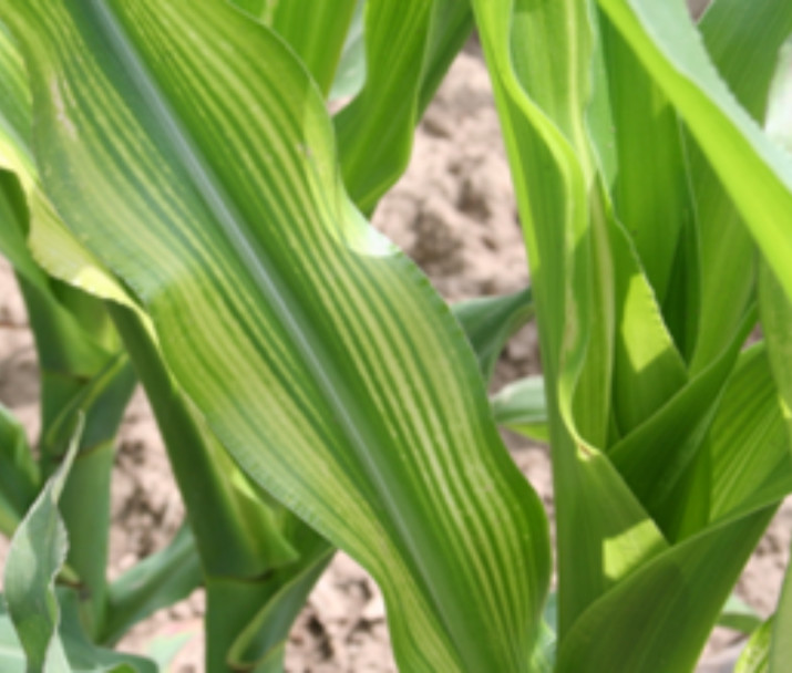 *Copper use=corn leaf veinosis