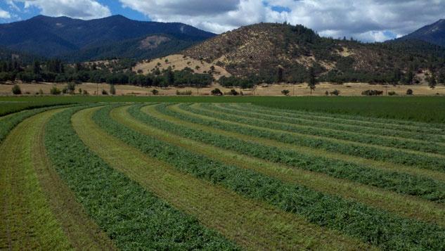 Photo of alfalfa field | About Sirius LLC developer of Hoof-Zink dairy cattle foot bath to prevent digital dermatitis