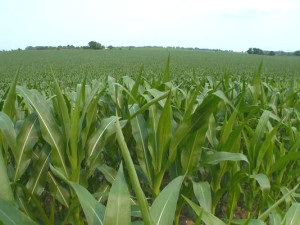 Good Corn-with Hoof Zinc Zink sustainable agriculture.