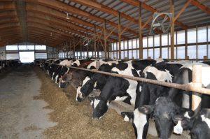 Dairy cows in feeding barn
