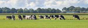 Dairy Cows grazing | Hoof-zink prevents warts on dairy cattle