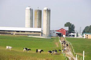 Dairy Farm Scene with Holstiens walking towards milking parlor | Hoof Zink Prevents Digital Dermatitis