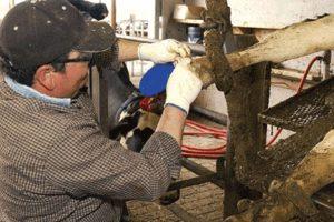 Vet working on a dairy cow's hoof - digital dermatitis